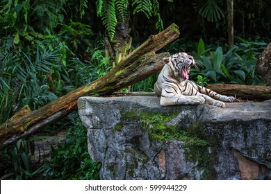 Yawning white tiger is resting on the rock on the plants background in the zoo in Singapore. Closeup photo. Horizontal.