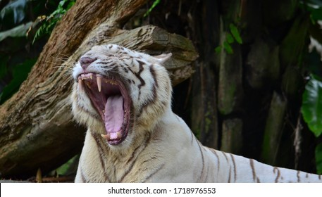 Yawning white tiger at the zoo.
