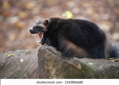 Yawning wolverine lying on the stone in autumn forest. Snarling jaws of the furry carcajou or skunk bear (Gulo gulo) with sharp long fangs.