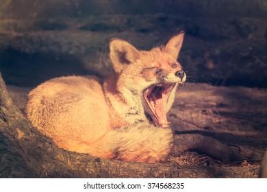 Yawns fox