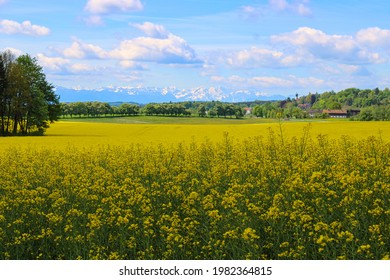 A yeallow blooming field of rape plants in Bavaria