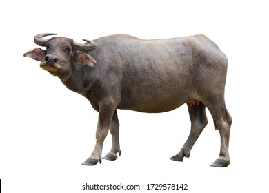 Year of the bull, buffalo with horns, symbol of 2021 on a white background, isolated