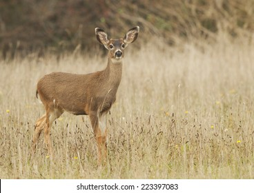 A yearling button buck black-tailed deer stands at alert in a dry grassy meadow.