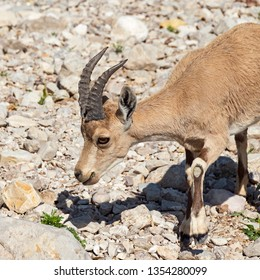 a yearling male nubian ibex yael grazing on wildflowers in the david streambed at ein gedi in israel