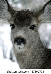 Yearling Mule Deer with wet head on a snowy winter day