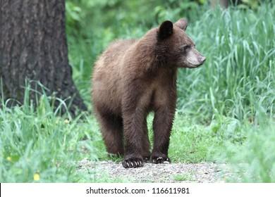 Yearling North American Black Bear