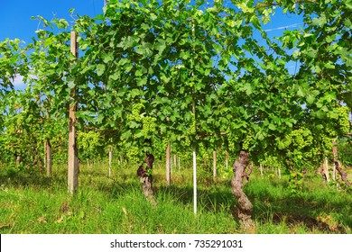 Years old vine. Not bunches of ripe green grapes growing on the farm. Agricultural land of grapes under a blue sky. The Langhe region in Piedmont. Italy