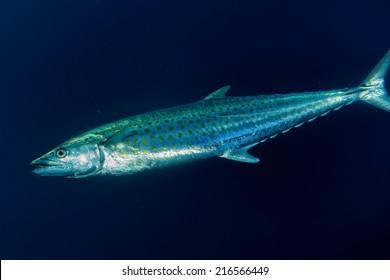 Yelllowfin tuna underwater in the deep blue sea