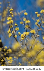 Yellos Blossoms and Blue Sky in Spring