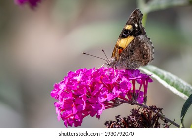 Yellow Admiral Butterfly Feeding on Royal Red Buddleia Flowers, Romsey, Victoria, Australia, February 2021