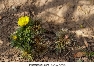 Yellow adonis flower in garden on spring