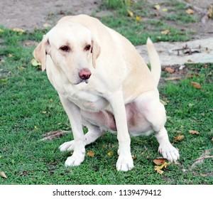 Yellow adult female Labrador Retriever is peeing on the green grass lawn