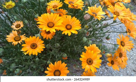 Yellow African daisies