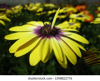 Yellow African Daisy Flower Close Up 2019