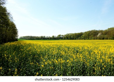 Yellow agricula field, Colza, France.