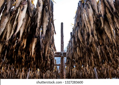 Yellow Alaska Pollack drying plant. Walleye pollack drying  during winter times on mountain.