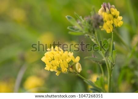 Yellow alfalfa flowers medicago sativa subsp stock photo edit now yellow alfalfa flowers medicago sativa subsp falcata family mightylinksfo