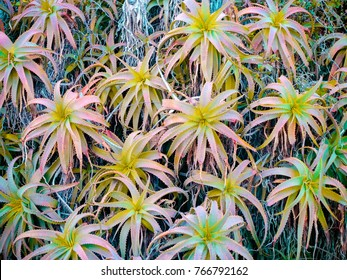 Yellow aloe vera plant. Beautiful aloe flowers leaves in the garden for floral pattern and background. Huge bush aloe outdoor. Uneven pattern of the leaves. Funnel-shaped nature. Greenhouse effect.