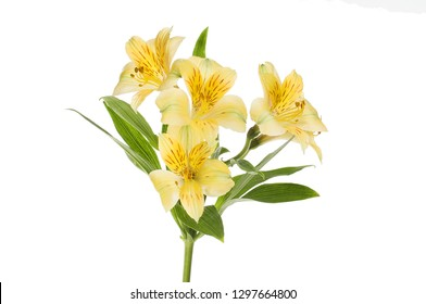 Yellow alstroemeria flowers and leaves isolated against white