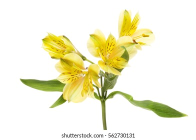 Yellow Alstroemeria, Peruvian lily, flowers and foliage isolated against white