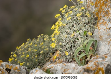 A yellow alyssum (Alysum saxatile) on the island of Cres