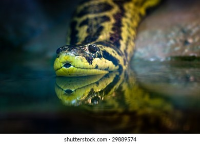 Yellow anaconda, native to South American swamps and marshes
