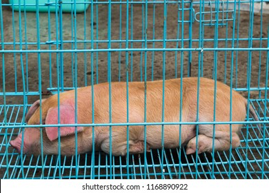 Yellow animal pig of Duroc breed lies in blue cage. Piglet is on sale in agricultural market. Copy space