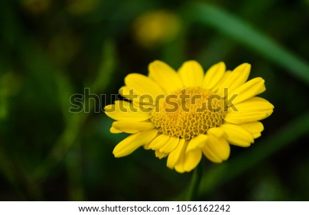 yellow-anthemis-flower-isolated-on-450w-