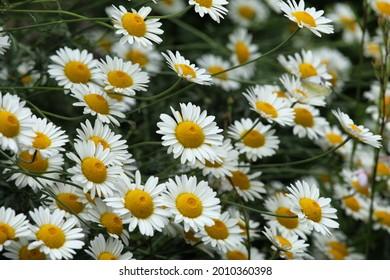 Yellow Anthemis tinctoria Sauce Hollandaise daisies in flower
