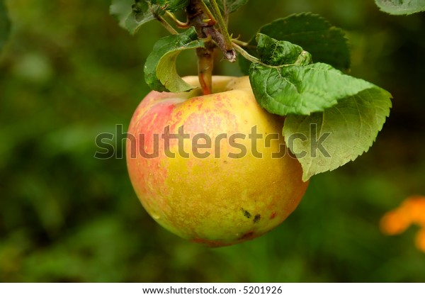 yellow apple hanging from a tree branch in an apple orchard