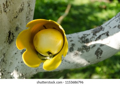 Yellow apple inside apple catcher device between tree branches on green background, practical method of gathering apples, harvesting