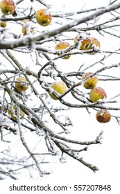 Yellow apples on a branches in the snow in winter.