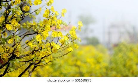 Yellow apricot blooming flower (Ochna integerrima)