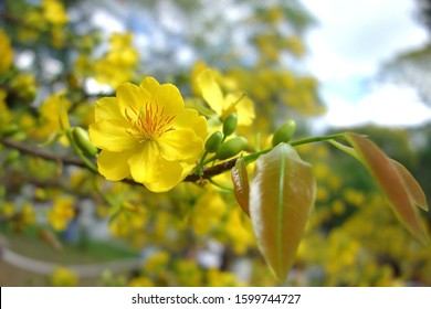 Yellow apricot blossom flower symbolic of new year Vietnam. Closeup of yellow apricot hoa mai with blur background