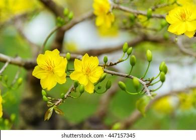 Yellow Apricot Flower