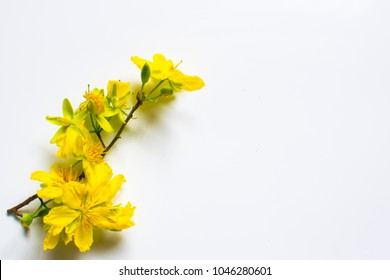 Yellow Apricot Flower isolated on white background, traditional lunar new year in Vietnam