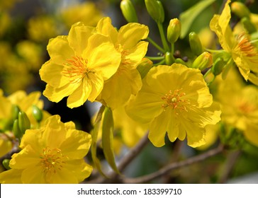 Yellow apricot flowers of South