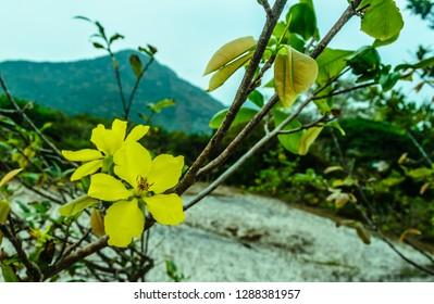 Yellow apricot on Con Lon island