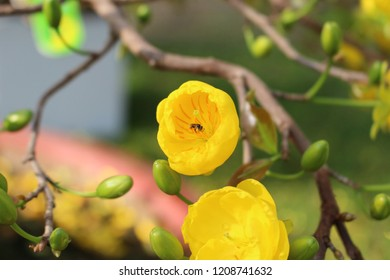 yellow apricots blossom is traditional lunar new year in Vietnam
