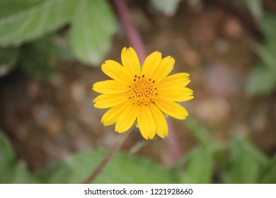 yellow arnica flower