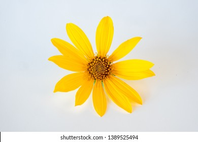Yellow Arnica Flower isolated on white background. Arnica flowers is a genus of perennial, herbaceous plants in the sunflower family (Asteraceae) with large yellow flowers and aromatic smell.