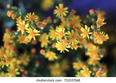 Yellow arnica flowers.