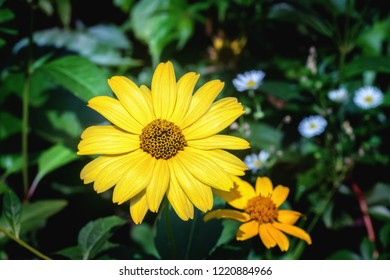 Yellow Arnica herb blossoms. Close up.