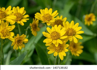 Yellow Arnica (Arnica Montana) herb blossom with nice bokeh. Note: Shallow depth of field