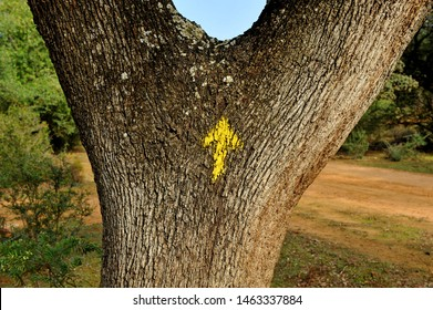 Yellow arrow in holm oak between Guillena and Castilblanco in Way to Santiago (Via de la Plata) at province of Seville Andalusia. Via de la Plata is the Camino de Santiago from Seville to Santiago