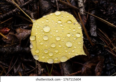 A yellow aspen leaf after a rainstorm.