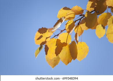 Yellow aspen leaves against the blue sky background