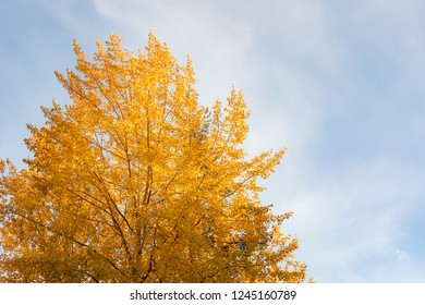 Yellow aspen tree foliage in golden sunlight close view