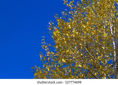 Yellow Aspen Tree Leaves Against a Blue Sky in Fall in Flagstaff, Arizona