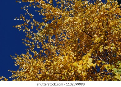 Yellow Aspen Trees Leaves Against Bright Blue October Autumn Sky